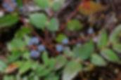 Low Oregon Grape