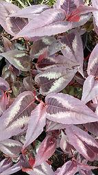 Persicaria 'Red Dragon'