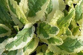 Scrophularia auriculata  'Variegata'