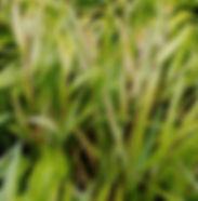 Hakonechloa macra 'Aureola'.jpg