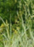 Arrhenatherum elatius subsp. bulbosum 'V