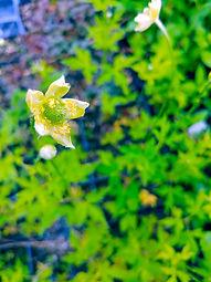 Anemone rivularis 'Glacier'
