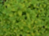 Golden Oregano