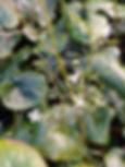 Beesia