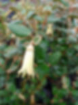 Australian White Correa