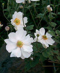 Anemone hupehensis 'Blanco'