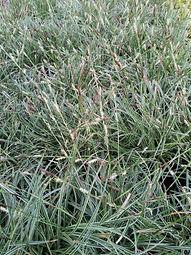 Carex conica 'Hime Kanasugi'