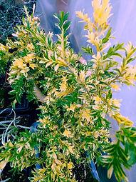 Buxus sempervirens 'Aureo-Variegatus'