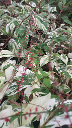 Persicaria virginica 'Painter's Palette'