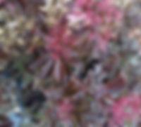 Sambucus racemosa 'Black Beauty'