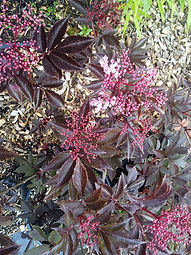 Sambucus racemosa 'Black Beauty'