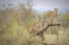 3 Cheetah
