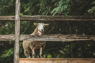 sheep-by-fence.jpg
