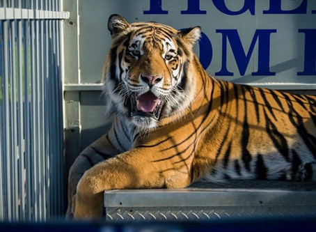 Tom The Tiger Passes Away