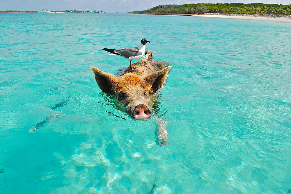 Pig swimming in the ocean.