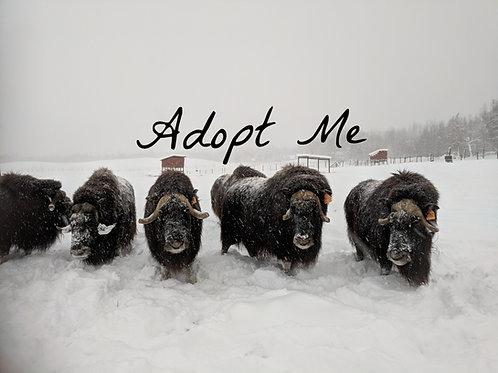 Adopt a Musk Ox!