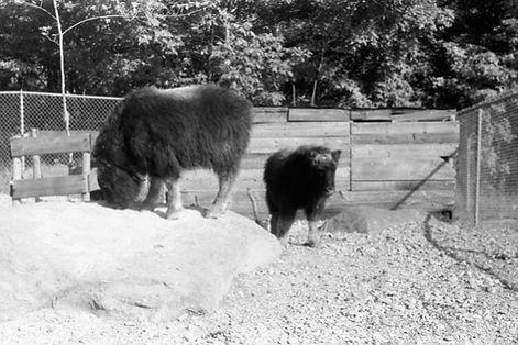 Musk ox calves on John Teal's farm in Vermont, 1950s
