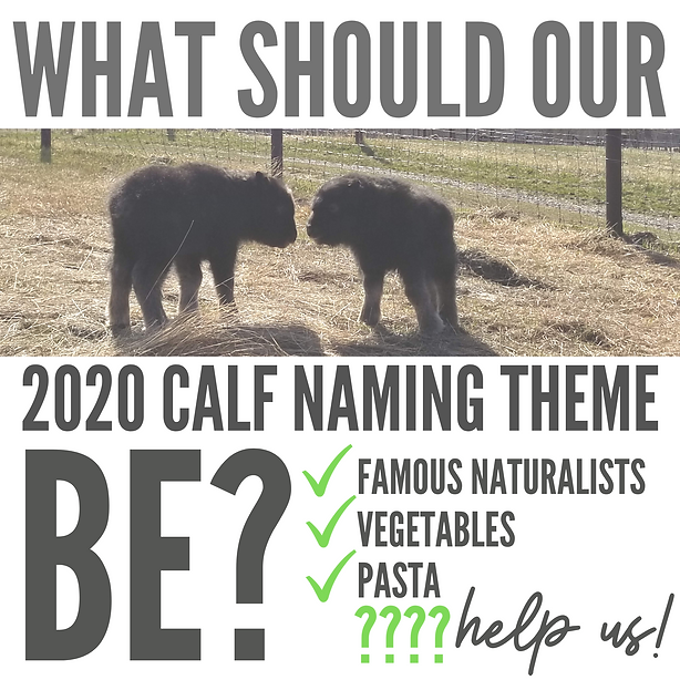 HELP US NAME THE CALVES!.png