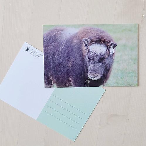 Musk Ox Farm Postcards