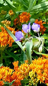 Ohio Spiderwort and butterflyweed by Jud