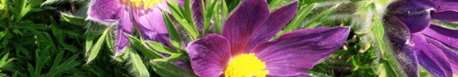 Pasque Flower1.jpg