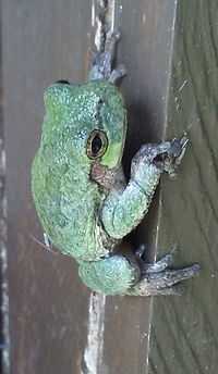 Cope's Gray Tree Frog, MHSP Pike Marsh b
