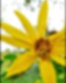 crab spider on sunflower (compositae) Li