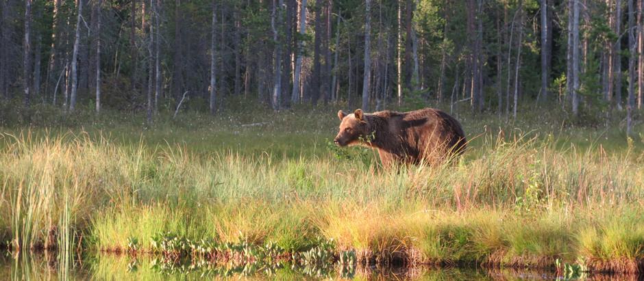 Karhu välttelee ihmisiä
