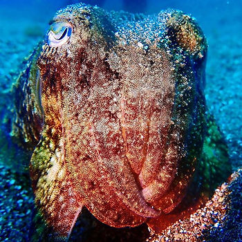 Aquatis Diving Lanzarote - Cuttlefish