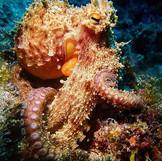 Aquatis Diving Lanzarote - Octopus