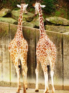 "Photography - ""Giraffe Chat"""