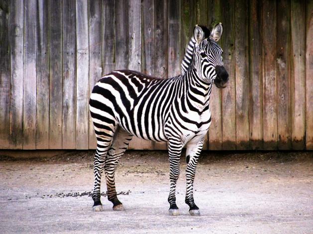 "Photography - ""Zebra Pose"""