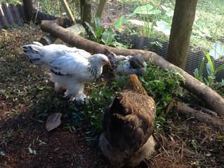 chicken news
