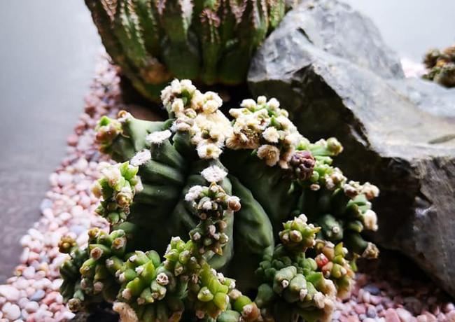 Astrophytum Monstrous