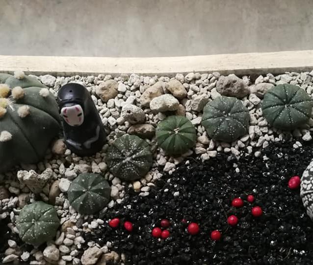 No-Face Astrophytum Zen Garden
