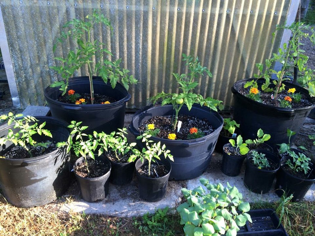 When To Plant Tomatoes?