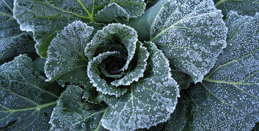Ol' Fashion Cabbage Collard 1/2 oz approx 1000 seeds
