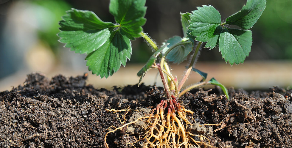 Live Strawberry Roots Ready to Plant - 5