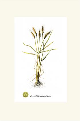 Wheat Botanical Print
