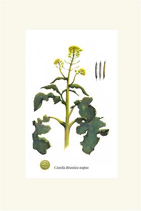 Canola Botanical Print