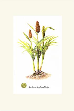 Sorghum Botanical Print