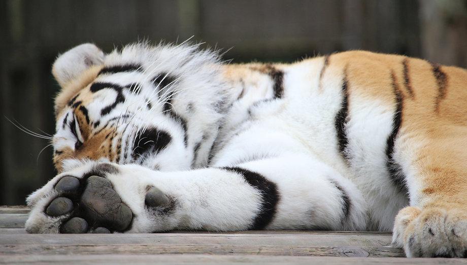 tiger asleep left fran-taylor-328351-uns
