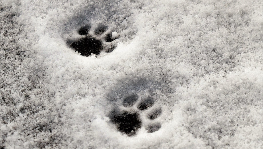 paws in snow pitsch-1959794_1920-pixabay