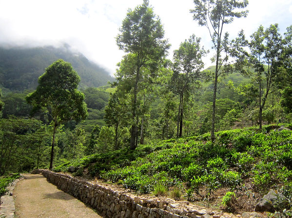 The Planters House - Sri Lanka - Tea Estate Boutique Hotel - Tea Estate View