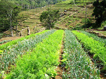 The Planters House - Sri Lanka - Tea Estate Boutique Hotel - Monarakanda Estate - Vegetables