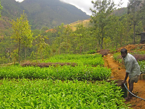 The Planters House - Sri Lanka - Tea Estate Boutique Hotel - Monarakanda Estate - Nursery