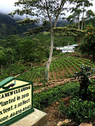 The Planters House - Sri Lanka - Tea Estate Boutique Hotel - Tea Estate Replanting