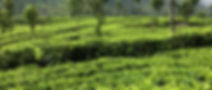 The Planters House - Sri Lanka - Tea Estate Boutique Hotel - Tea Fields
