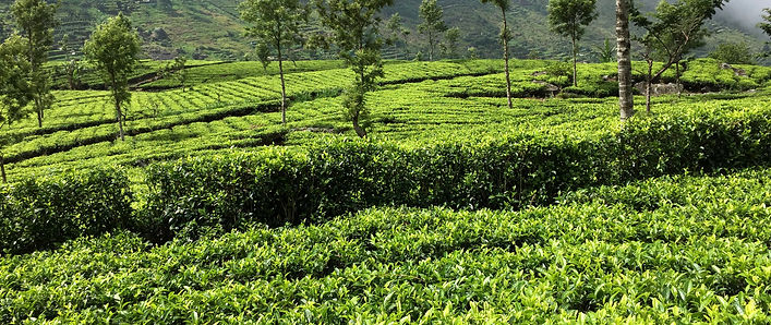 The Planters House - Sri Lanka - Tea Estate Boutique Hotel - Estate View