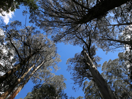 Securing a Great Forest National Park in Victoria